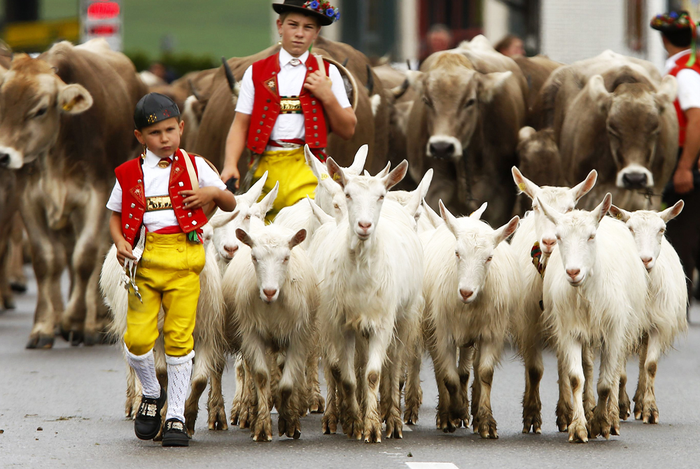 Farmers and their children wearing traditional costumes drive their cows and goats during the annual Alpabzug in the eastern Swiss town of Gonten